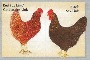 RedBlack-Sex-Link